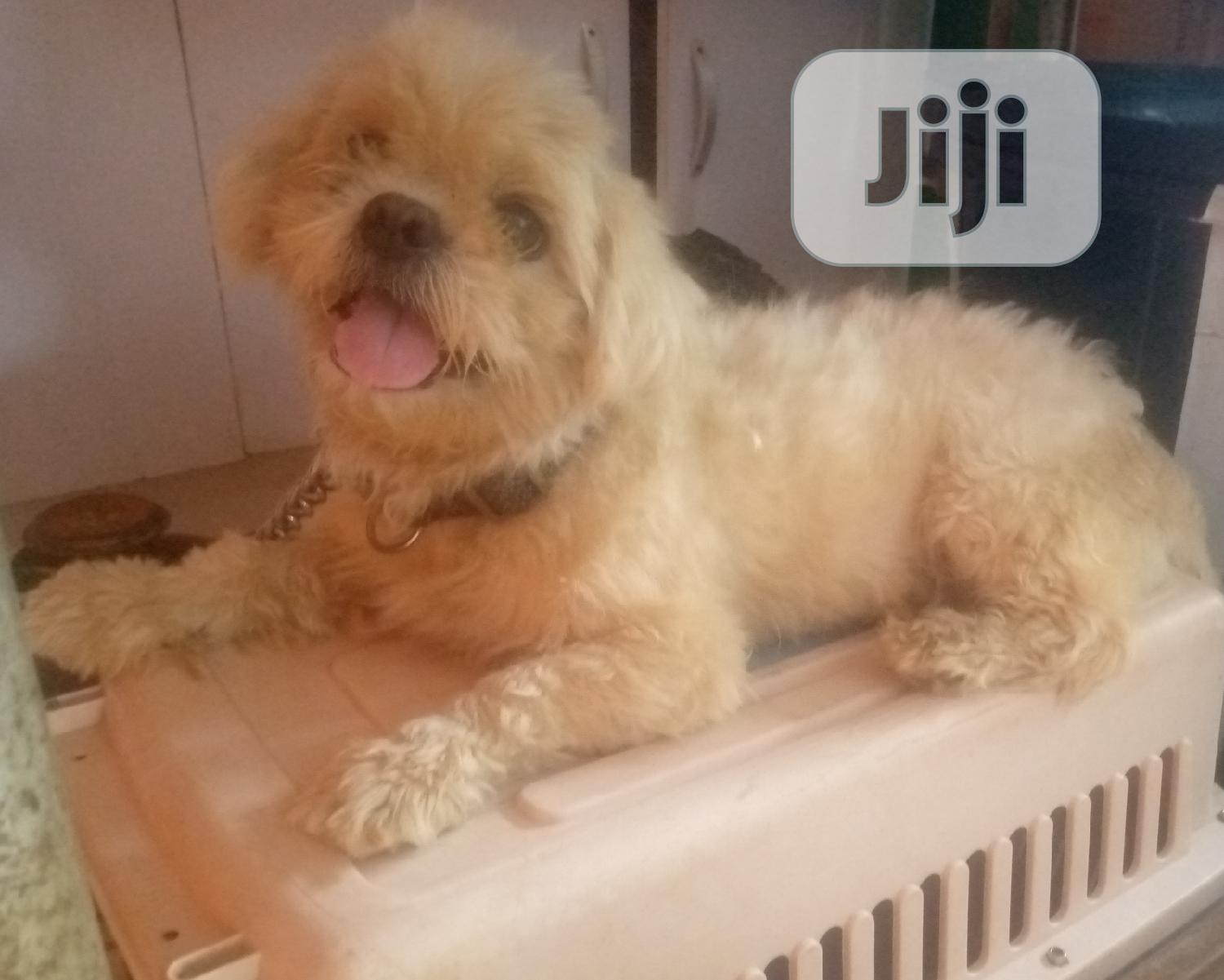 Adult Male Shih Tzu Available for Mating Stud Services