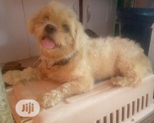 Adult Male Shih Tzu Available for Mating Stud Services | Pet Services for sale in Lagos State, Ifako-Ijaiye