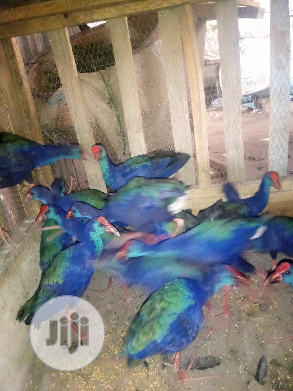 Archive: Purple Gallinule