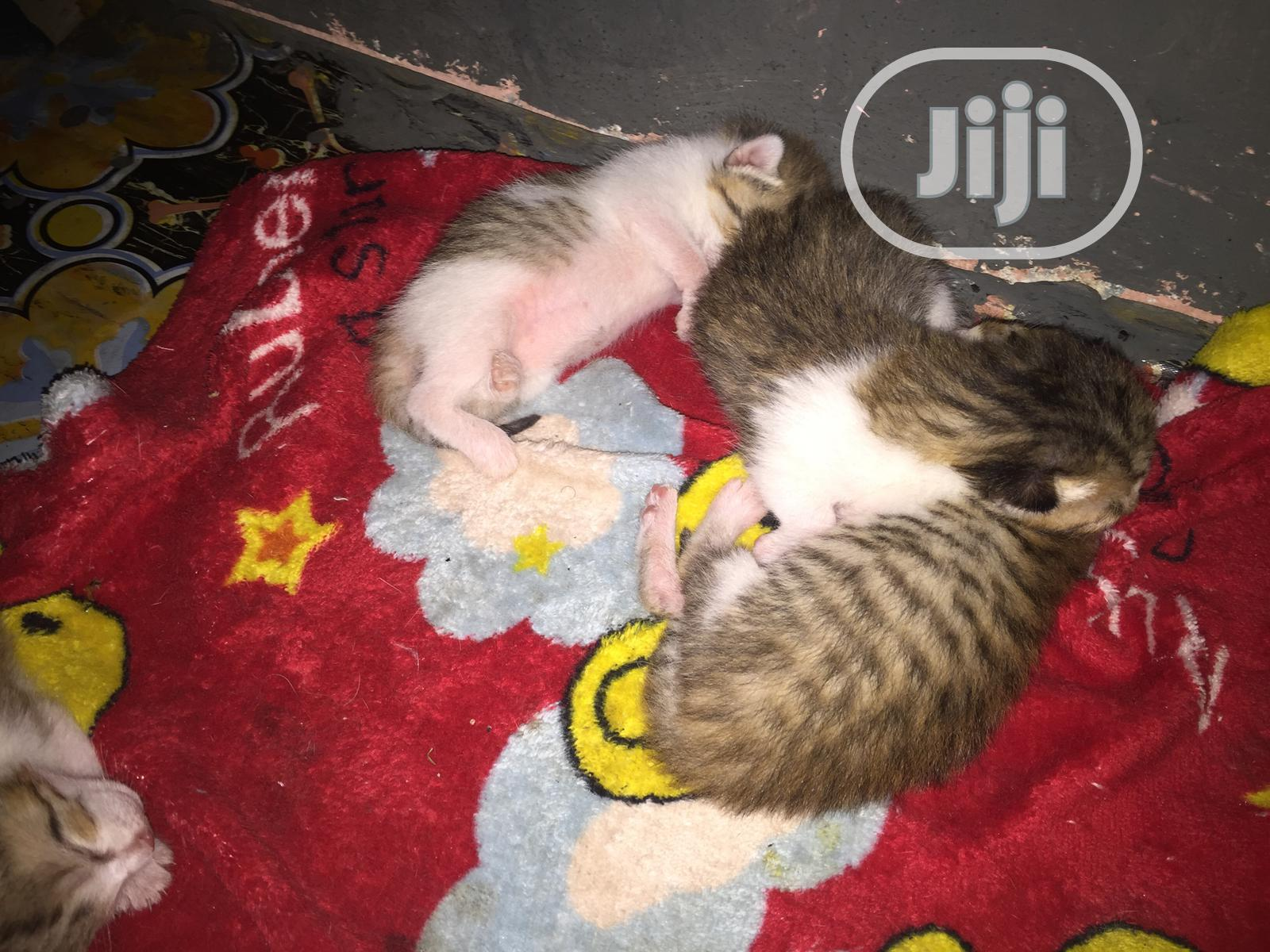 Archive: 0-1 month Female Mixed Breed American Shorthair