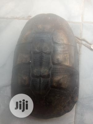 Turtle For Sale | Reptiles for sale in Lagos State, Ajah