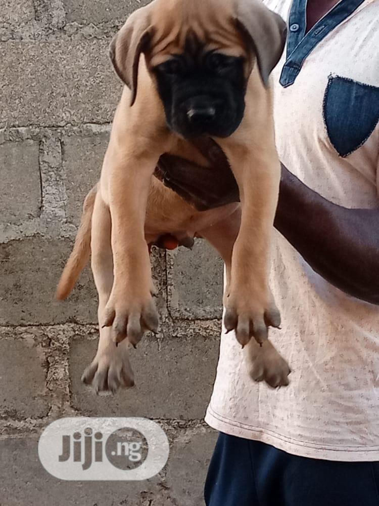 1-3 month Female Purebred Boerboel