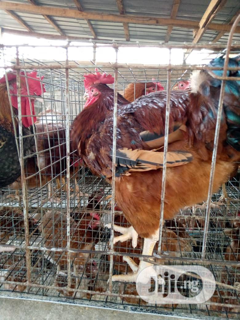 Olabams2 Farms   Livestock & Poultry for sale in Abeokuta South, Ogun State, Nigeria