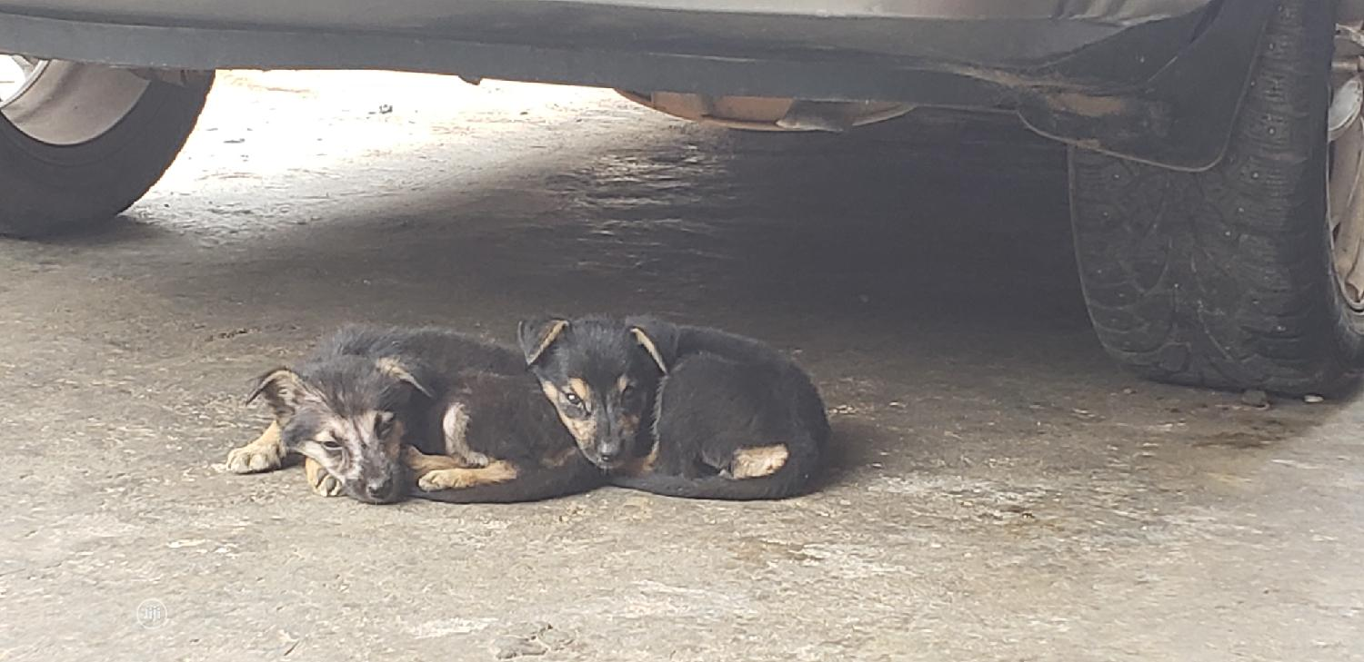 1-3 month Female Purebred German Shepherd | Dogs & Puppies for sale in Agege, Lagos State, Nigeria
