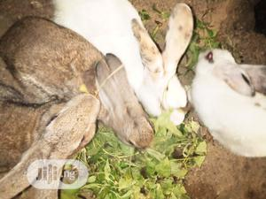 Good Rabbit | Livestock & Poultry for sale in Oyo State, Ibadan