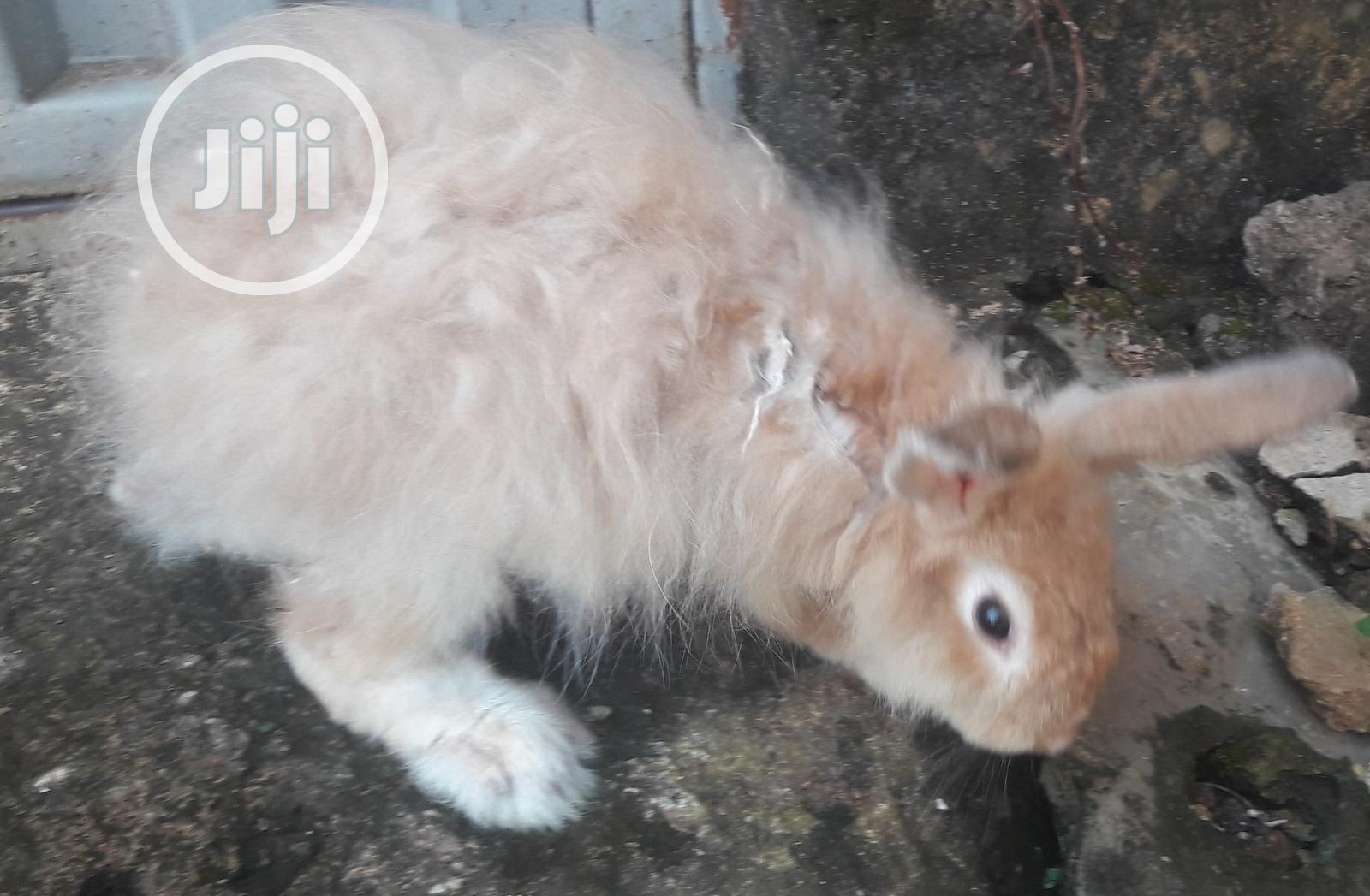 Rabbit Angora, Hylamax, Harlequin, Sable, Newzealand White | Livestock & Poultry for sale in Surulere, Lagos State, Nigeria