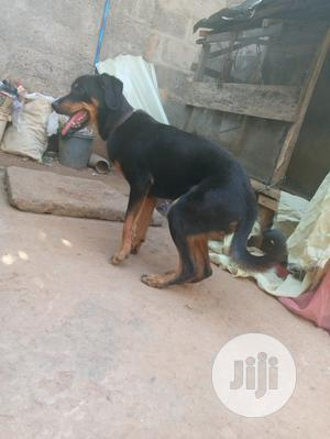 6-12 Month Female Purebred Rottweiler   Dogs & Puppies for sale in Enugu State, Enugu