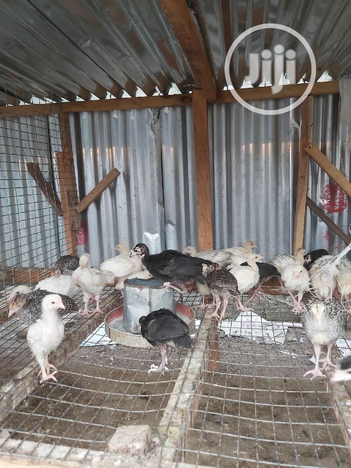 Archive: Noiler And Turkeys (Day Old, Growers And Adult)