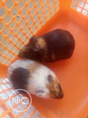 Guinea Pigs Are Available In JAHLAND ANIMAL FARM | Other Animals for sale in Abuja (FCT) State, Nyanya