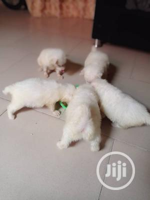1-3 Month Male Purebred American Eskimo   Dogs & Puppies for sale in Lagos State, Lekki