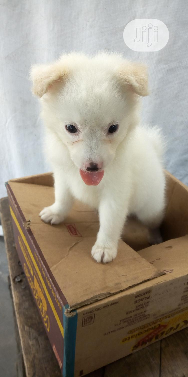 1-3 Month Male Purebred American Eskimo | Dogs & Puppies for sale in Lekki, Lagos State, Nigeria