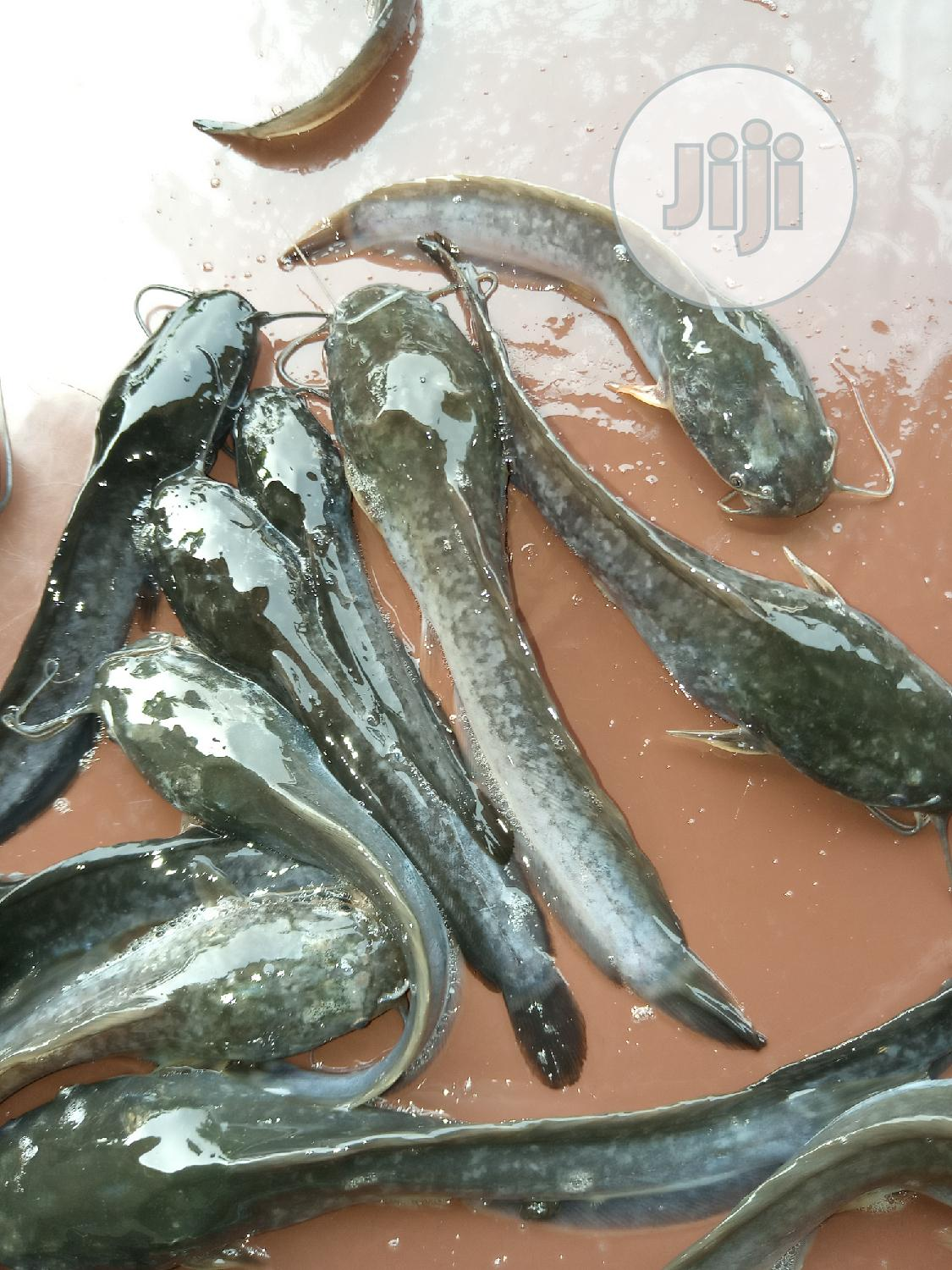 Archive: Hybrid Catfish Fingerlings - Any Sizes - Free Services