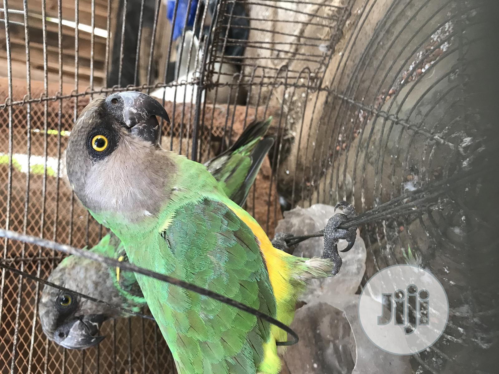 Parrots Pair, Hand Trained | Birds for sale in Ikorodu, Lagos State, Nigeria