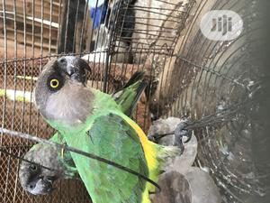 Parrots Pair, Hand Trained | Birds for sale in Lagos State, Ikorodu