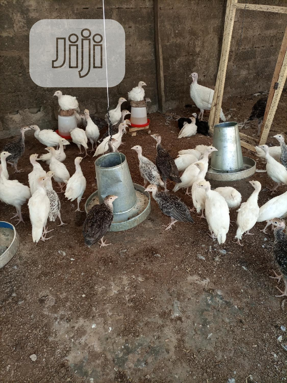 Archive: 5, 6, 7 Weeks Healthy Local Turkeys