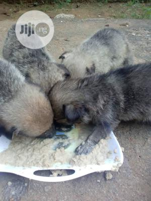 1-3 Month Female Purebred German Shepherd | Dogs & Puppies for sale in Rivers State, Port-Harcourt