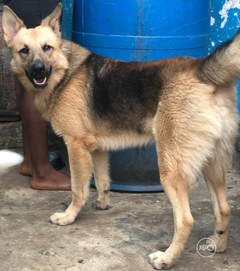 Archive: Male GSD Available for Stud Service/Crossing