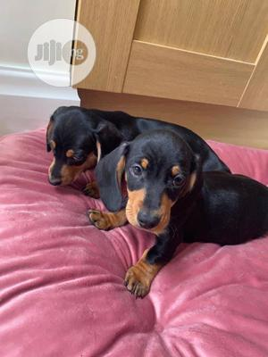 1-3 Month Male Purebred Dachshund | Dogs & Puppies for sale in Lagos State, Ikoyi