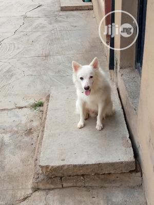 American Eskimo Stud Service   Pet Services for sale in Oyo State, Ibadan