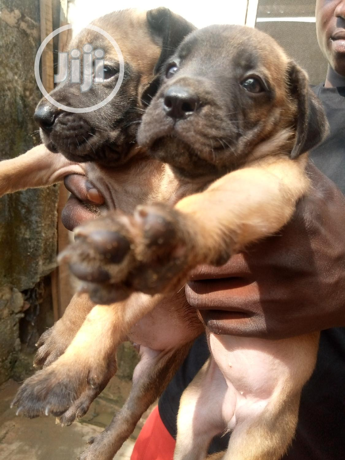 1-3 Month Female Purebred Boerboel | Dogs & Puppies for sale in Ikotun/Igando, Lagos State, Nigeria