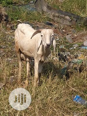 Healthy Ram   Livestock & Poultry for sale in Lagos State, Gbagada