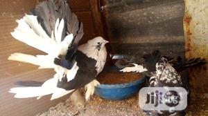 Different Types of Fantails Available at Max-Farm. | Birds for sale in Ogun State, Ilaro