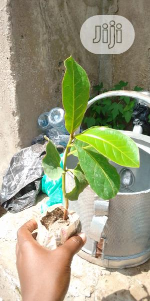 Almond Seedlings   Feeds, Supplements & Seeds for sale in Oyo State, Ido