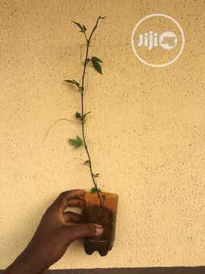 Ugu Ugwu Seedlings | Feeds, Supplements & Seeds for sale in Lagos State, Abule Egba