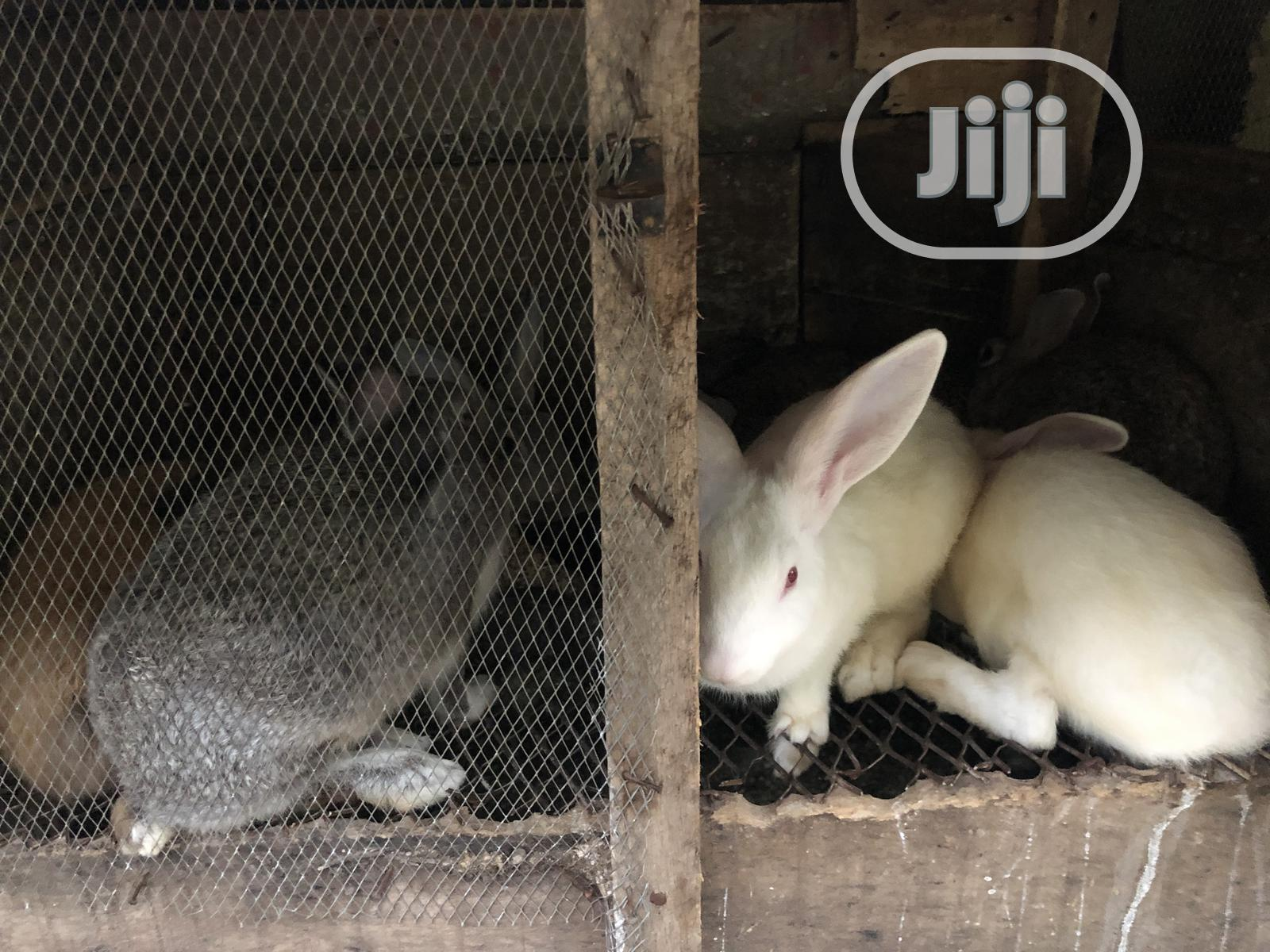 Archive: Rabbits With Different Breeds for Sale