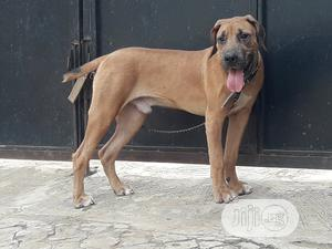 6-12 Month Male Purebred Boerboel   Dogs & Puppies for sale in Lagos State, Ifako-Ijaiye