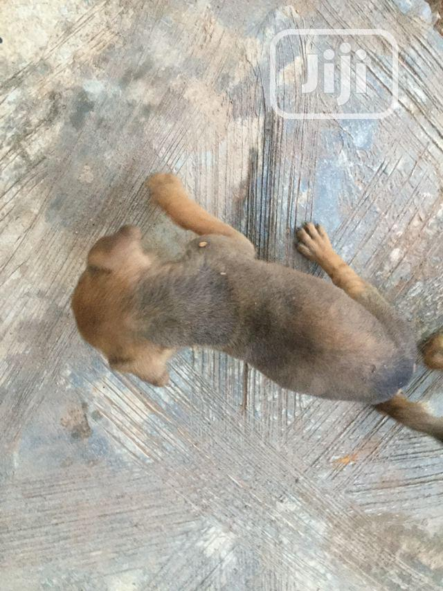 3-6 month Male Mixed Breed Boerboel | Dogs & Puppies for sale in Sagamu, Ogun State, Nigeria
