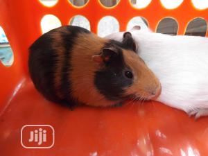 Healthy and Lovely Guinea Pigs in Jahland Animal Farm | Other Animals for sale in Abuja (FCT) State, Nyanya