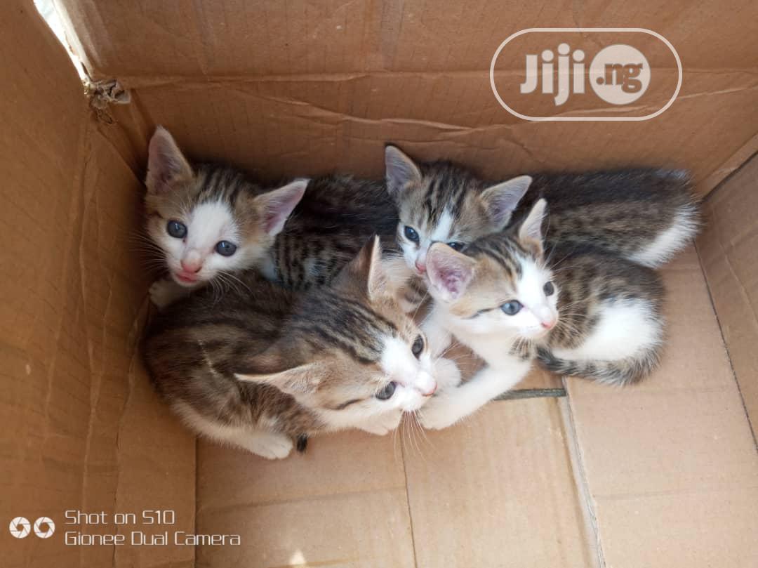 Archive: 1-3 Month Female Purebred Cat