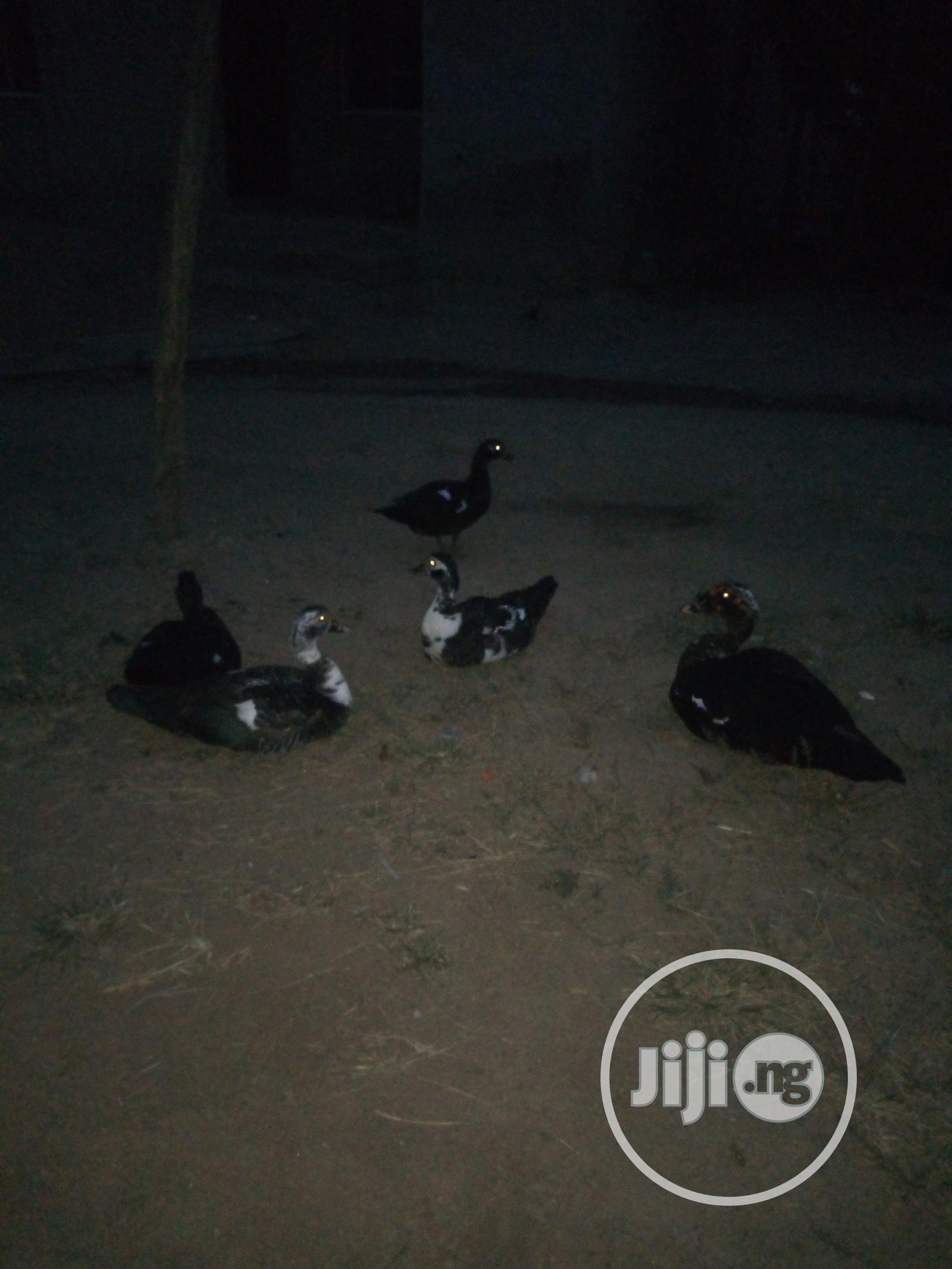 Adult Ducks For Sale | Livestock & Poultry for sale in Odeda, Ogun State, Nigeria