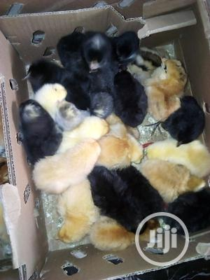 A Day Old Noiler | Livestock & Poultry for sale in Osun State, Osogbo