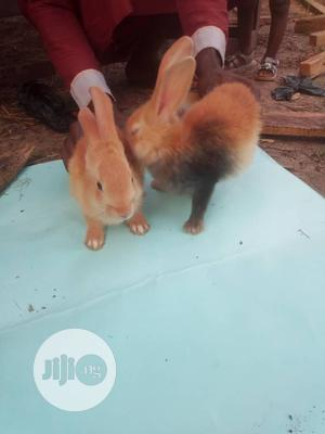 Harlequin Crossed Palomino Weaners | Livestock & Poultry for sale in Osun State, Iwo
