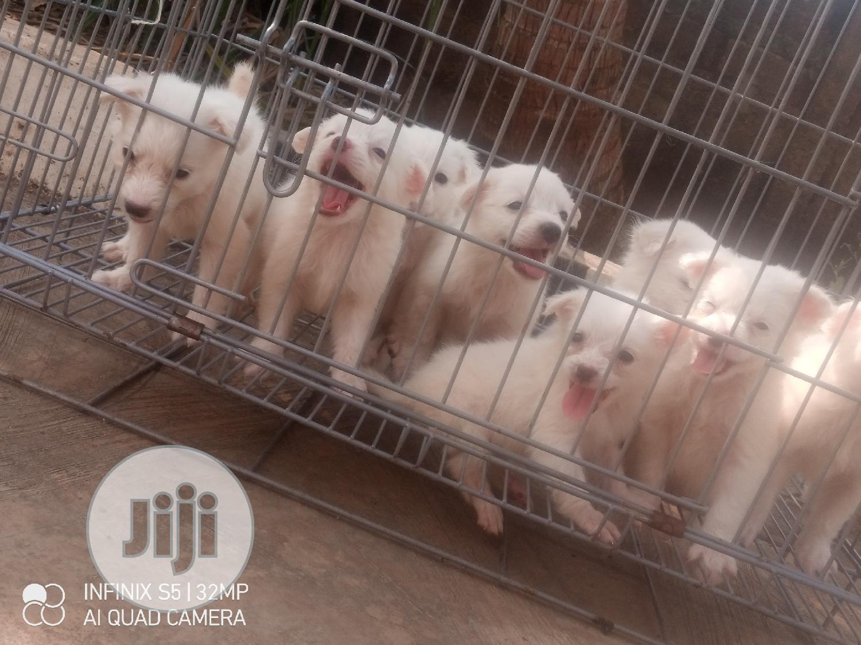 1-3 Month Male Purebred American Eskimo | Dogs & Puppies for sale in Ilesa, Osun State, Nigeria