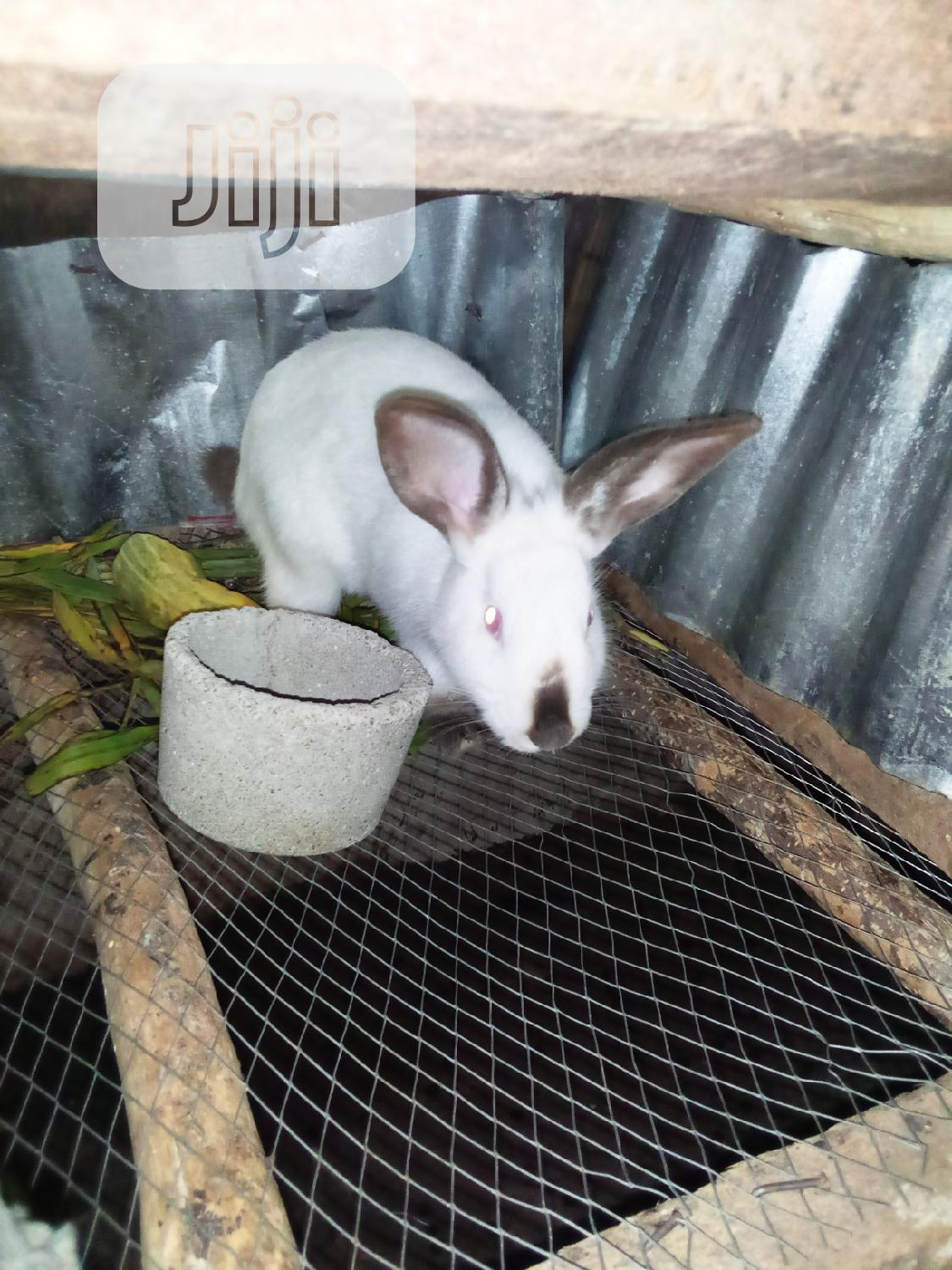 Hygh Breed of Hyla Max | Livestock & Poultry for sale in Osogbo, Osun State, Nigeria