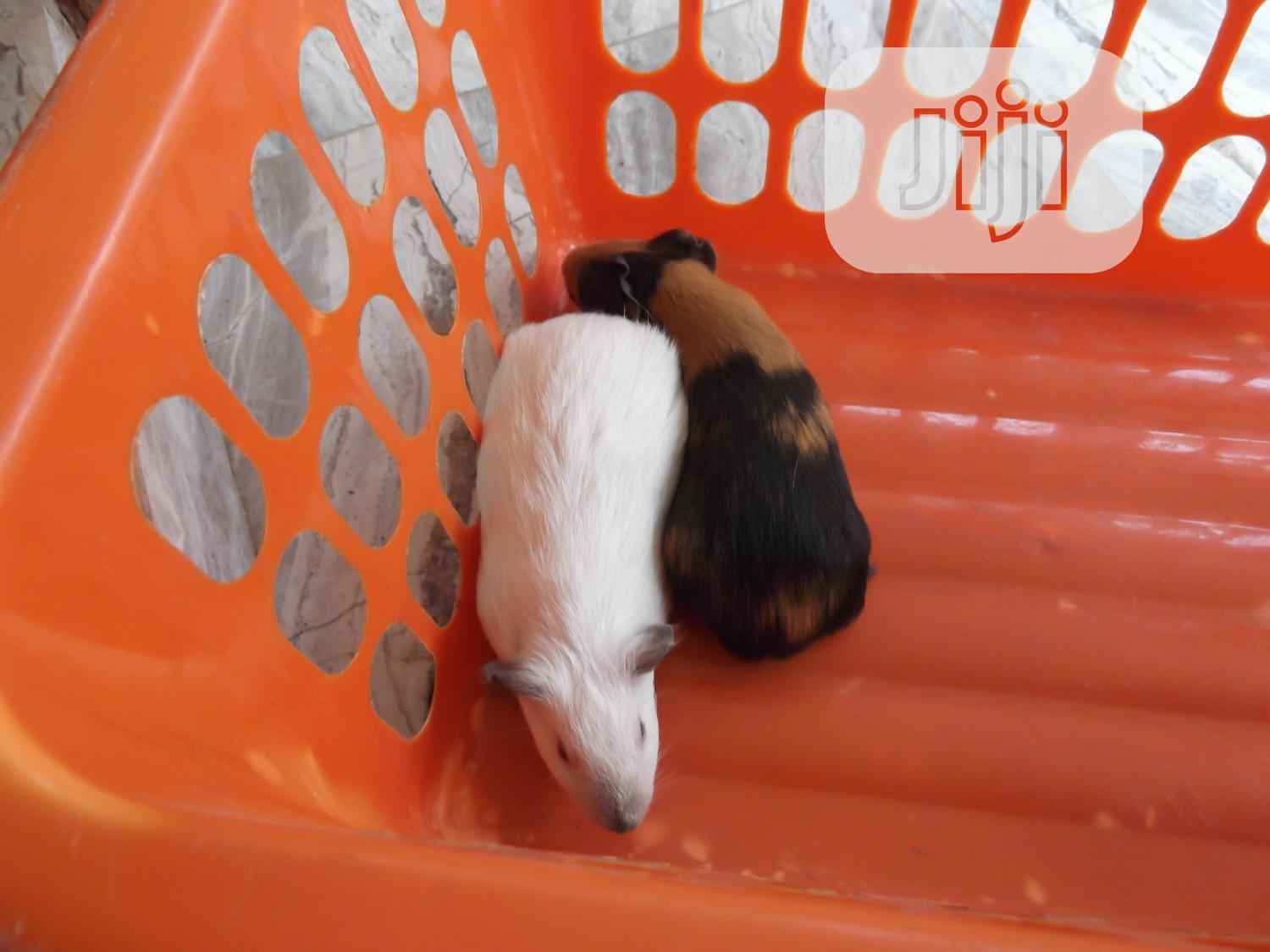 Archive: Guinea Pigs Are Available in Jahland Animal Farm Umuahia