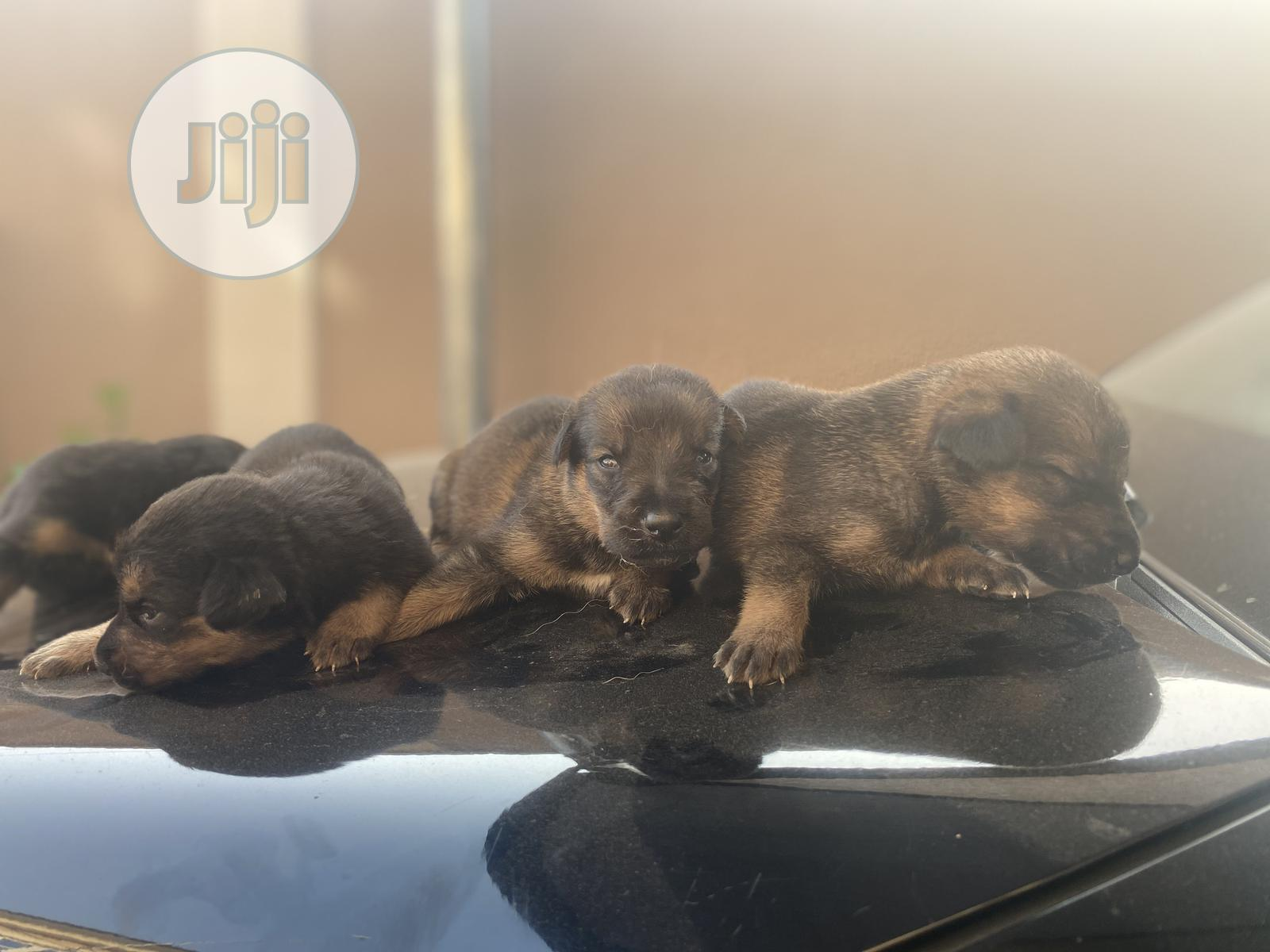 0-1 Month Male Mixed Breed Doberman Pinscher | Dogs & Puppies for sale in Yaba, Lagos State, Nigeria