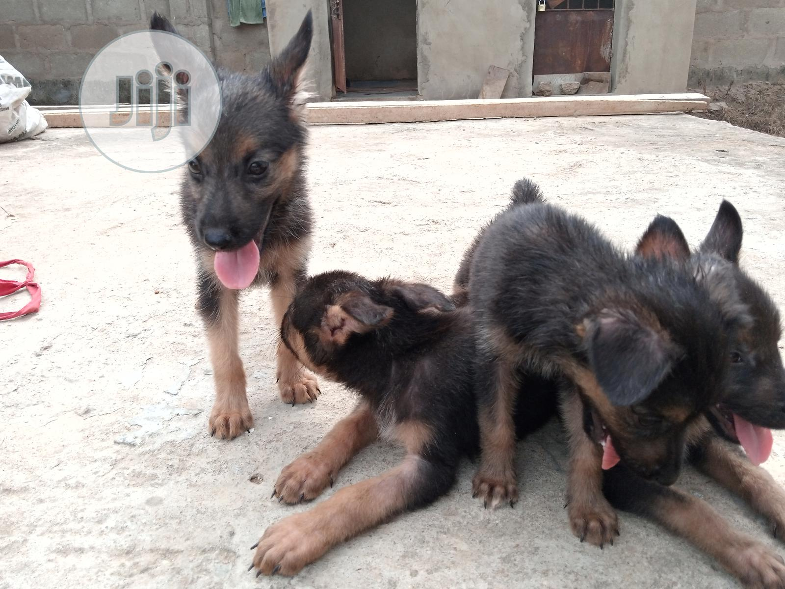 1-3 month Female Purebred German Shepherd | Dogs & Puppies for sale in Obafemi-Owode, Ogun State, Nigeria