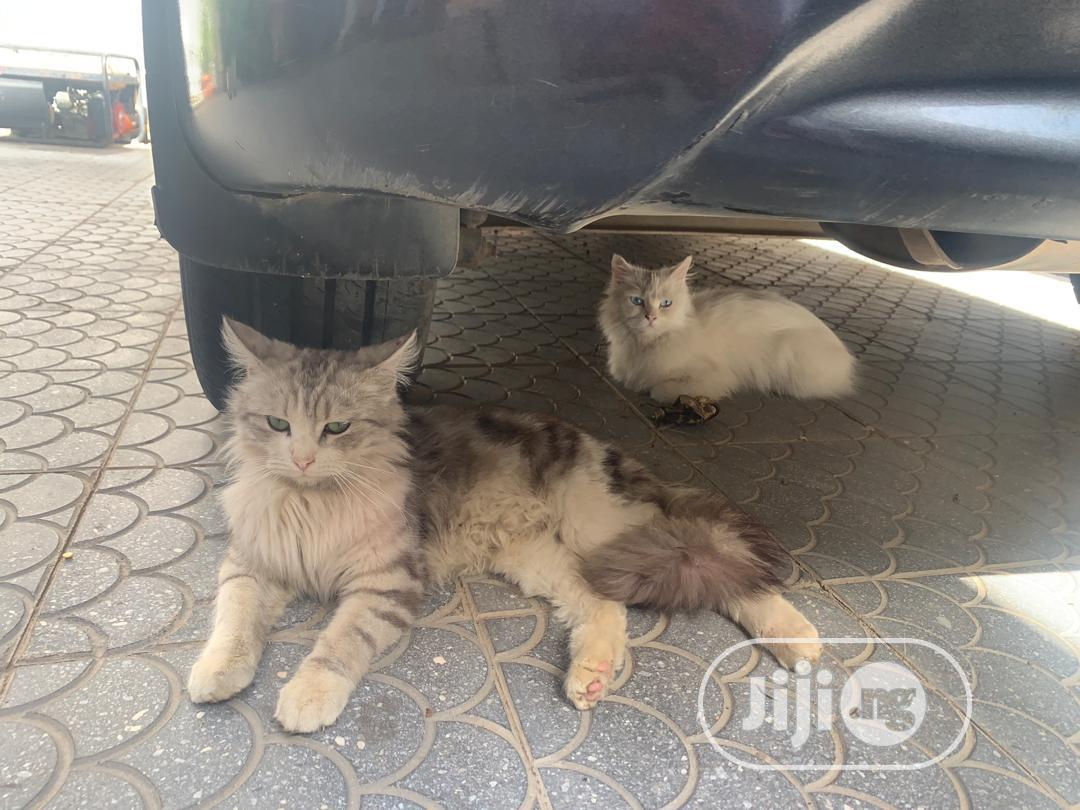 1-3 month Female Purebred Turkish Van | Cats & Kittens for sale in Wuse 2, Abuja (FCT) State, Nigeria