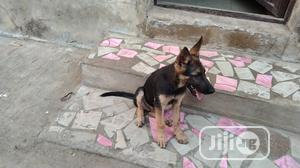 1-3 month Male Purebred German Shepherd | Dogs & Puppies for sale in Ogun State, Abeokuta South