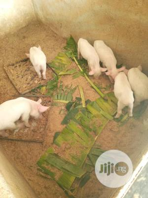 Pure Large White Pigs   Livestock & Poultry for sale in Plateau State, Jos