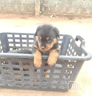 1-3 month Male Purebred Rottweiler | Dogs & Puppies for sale in Lagos State, Surulere