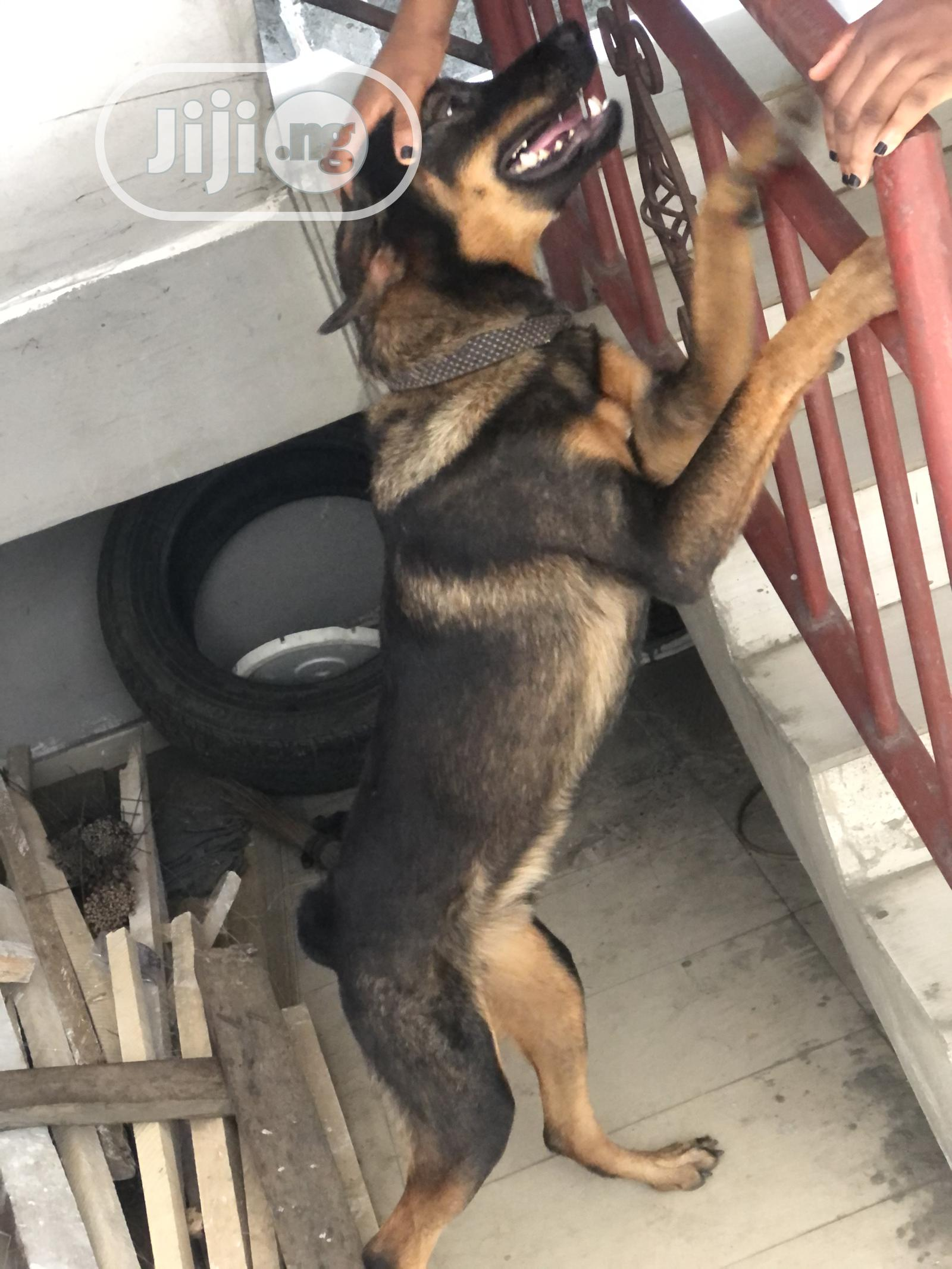 6-12 month Male Mixed Breed German Shepherd | Dogs & Puppies for sale in Port-Harcourt, Rivers State, Nigeria