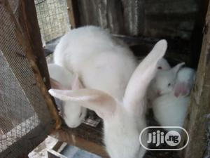 Hyla, Harlequin, American Chinchilla, Newzealand | Livestock & Poultry for sale in Rivers State, Port-Harcourt