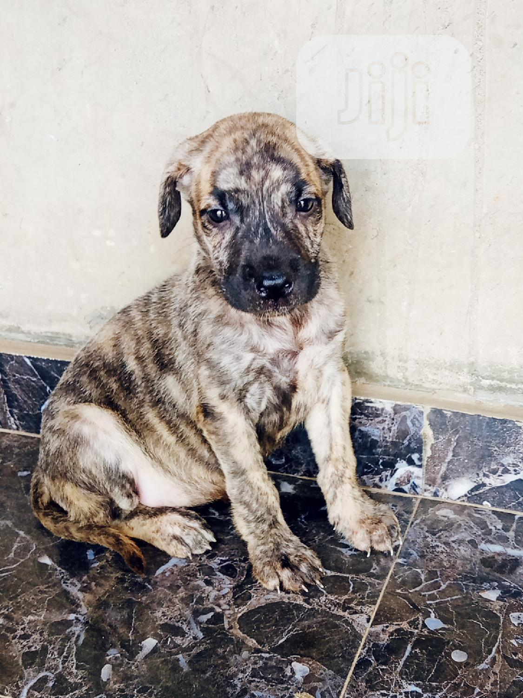 1-3 month Female Purebred Boerboel   Dogs & Puppies for sale in Ado Ekiti, Ekiti State, Nigeria