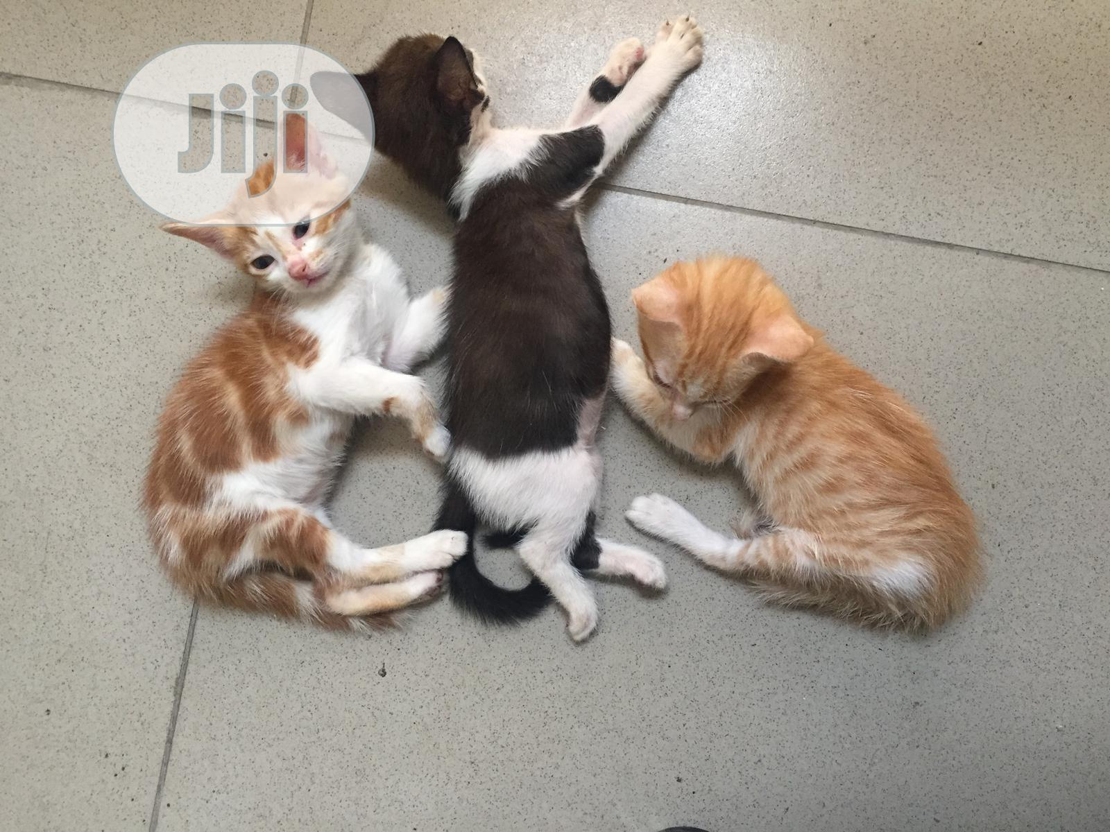 1-3 month Female Purebred American Shorthair | Cats & Kittens for sale in Lekki, Lagos State, Nigeria