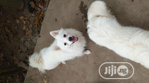 Eskimo and Lhasa Studding   Pet Services for sale in Oyo State, Ibadan